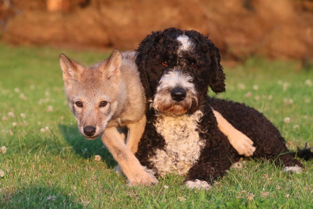 Happy End: Hündin Vega und die kleine Wölfin