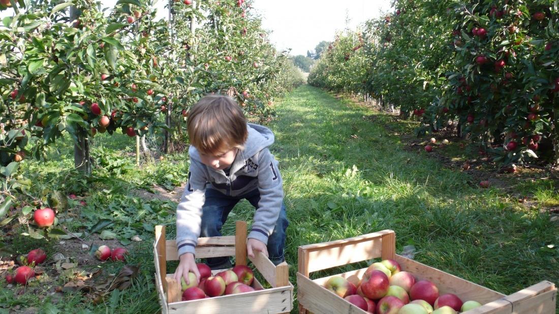 Frische Äpfel: Kind beim Pflücken