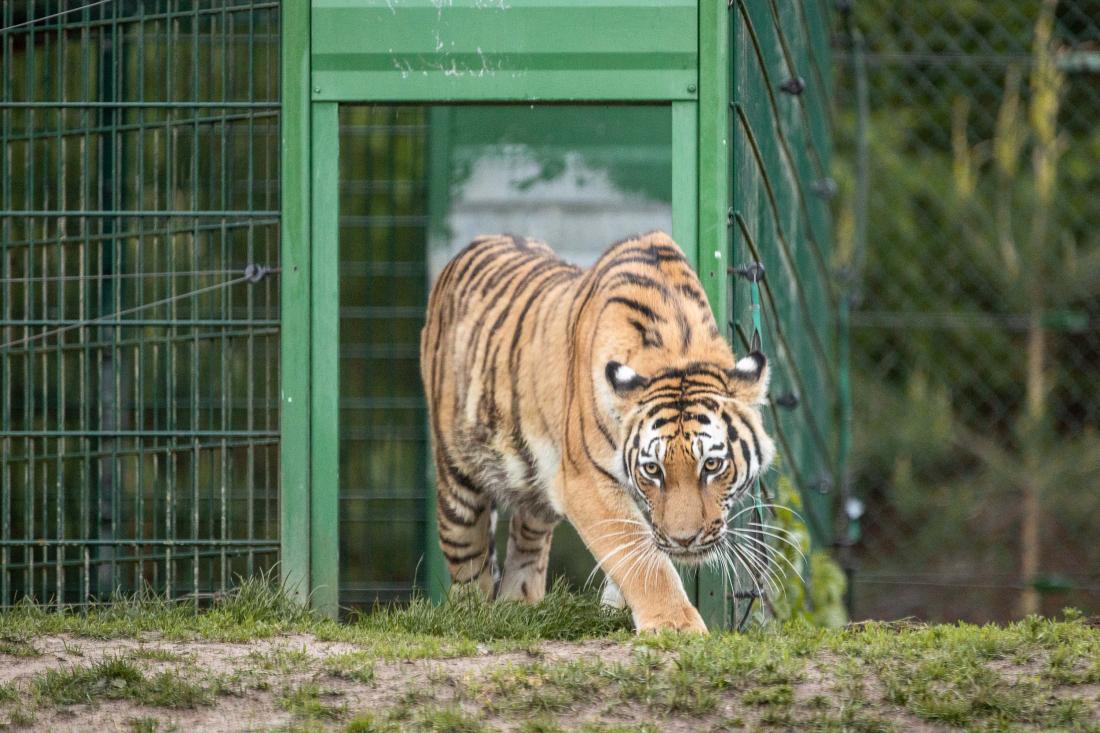 Tiger gucken: erste Schritte ins Gehege
