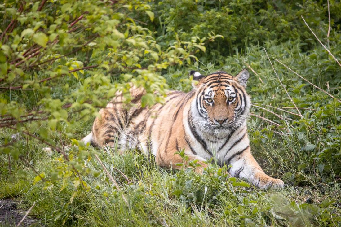 Tiger im Wildpark Lüneburger Heide