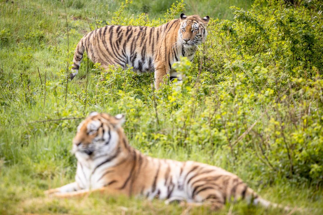 Tiger gucken: Anushka und Dascha im Wildpark Lüneburger Heide