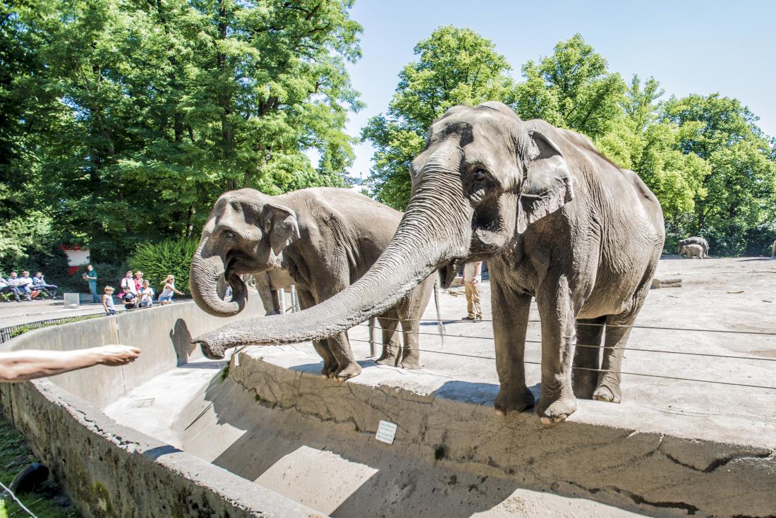 Hagenbeck: Fütterung der Elefanten