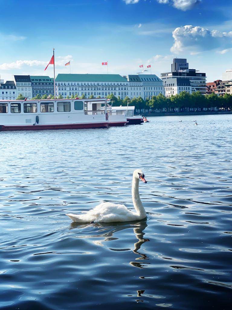 Die Alsterschwäne: typisch Hamburg