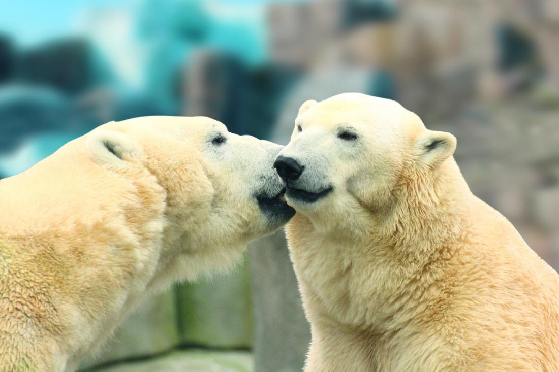 Bären-starkes. Eisbärenduo