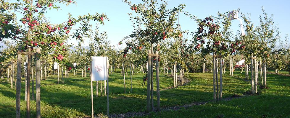 Herz-Apfel-Garten: Reihe von Apfelbäumen
