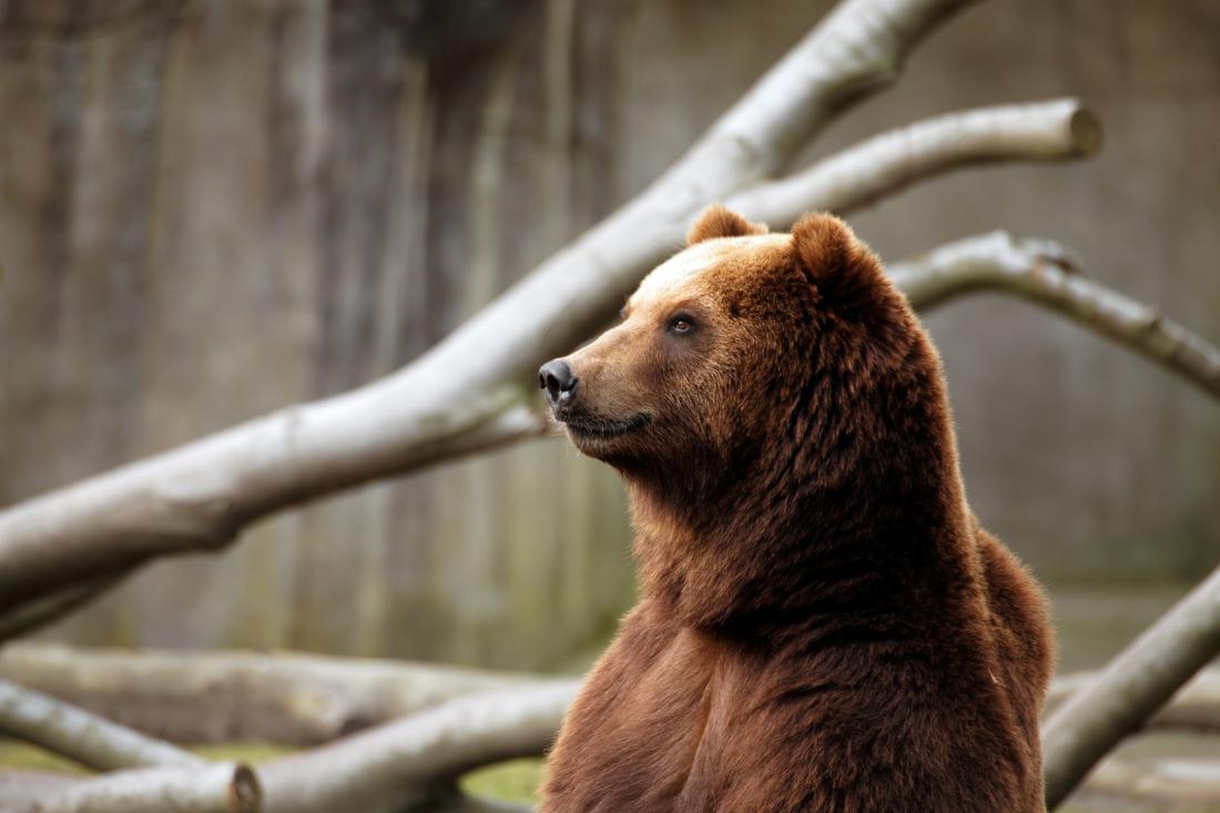 Bären-starkes: Kamtschatka-Bär