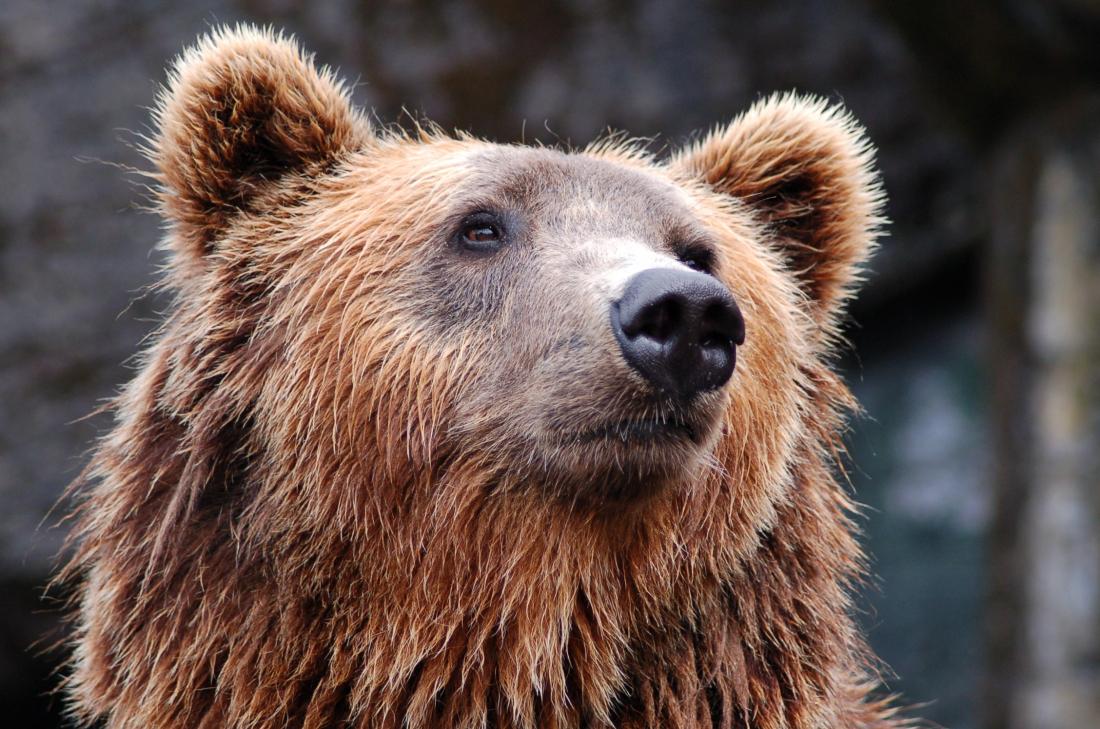 Bären-starkes: Braunbär