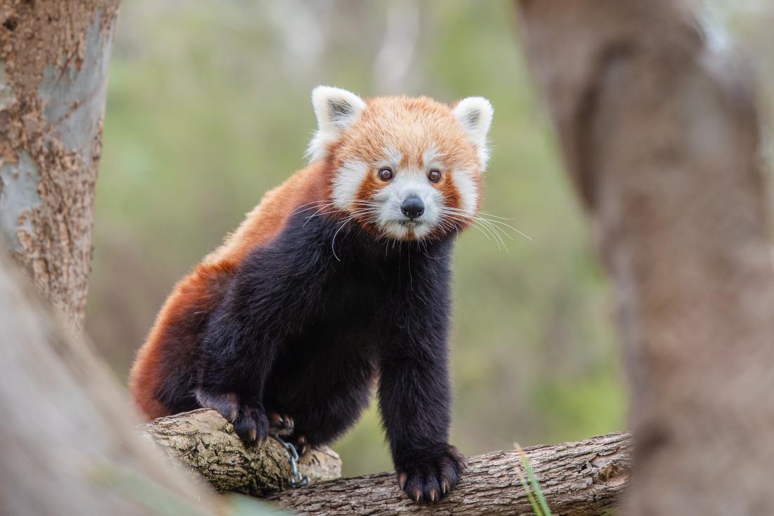 Bären-starkes: Roter Panda