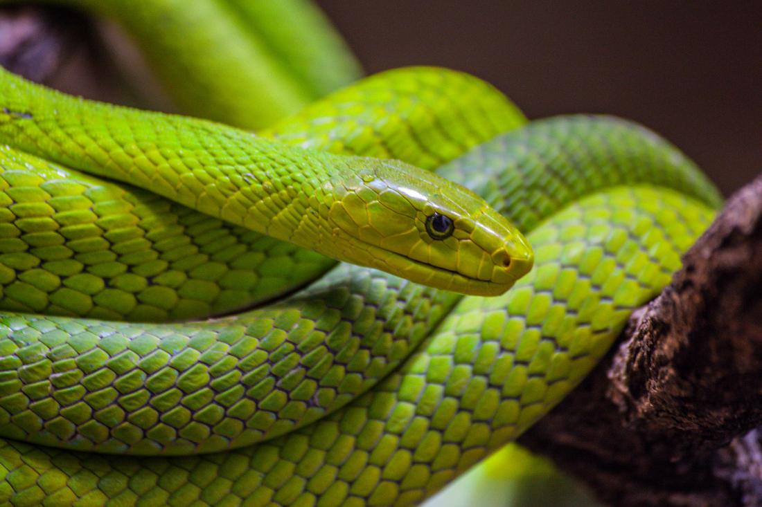 Tag der Schlange: eine grüne Mamba im Geäst