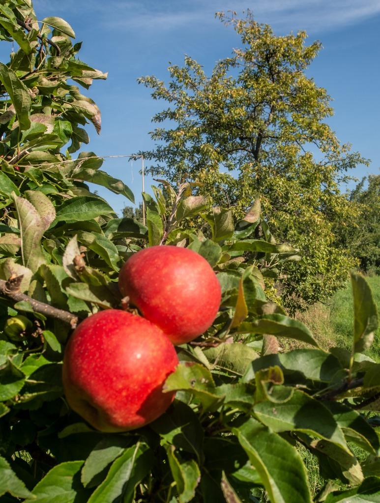 tolle Geschenk-Idee: eine Apfelbaumpatenschaft