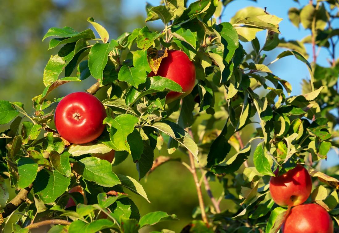 Frische Äpfel: direkt vom Baum