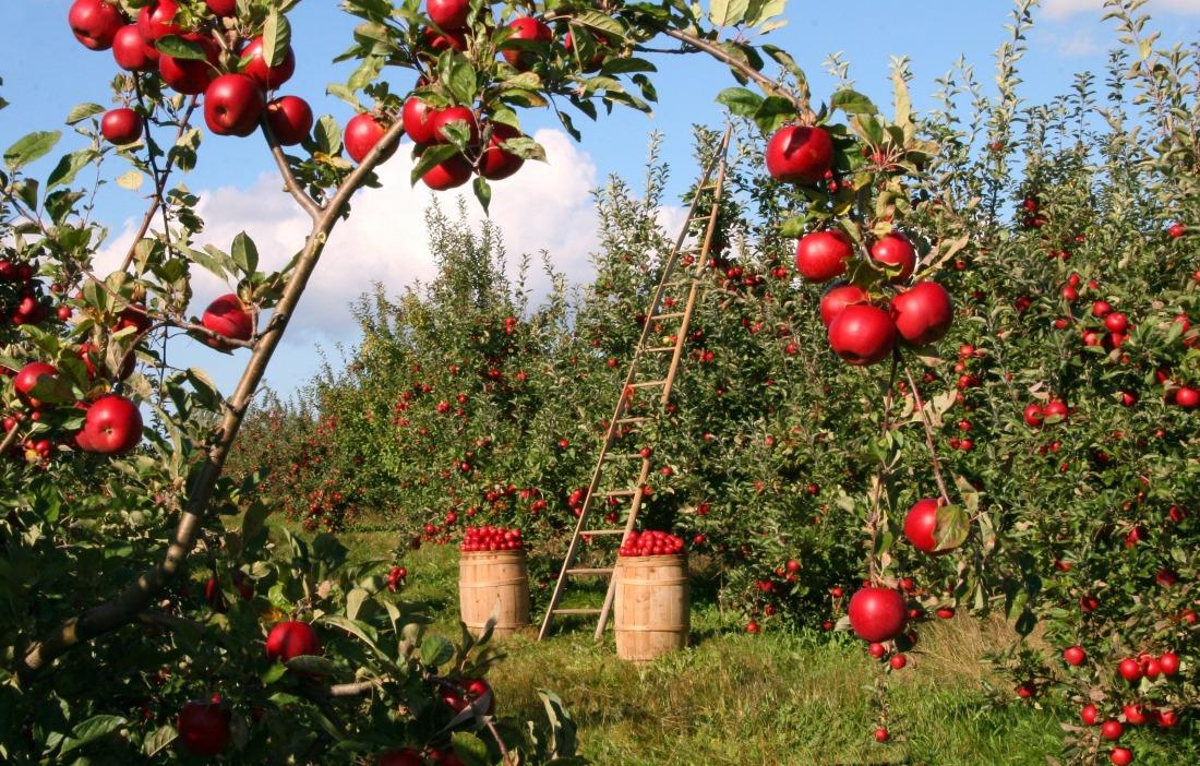 Frische Äpfel: Blick in eine Obstplantage