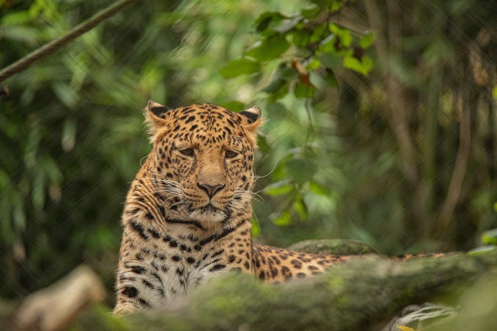 Die Leoparden: vom Aussterben bedrohter Vertreter Nordchinas