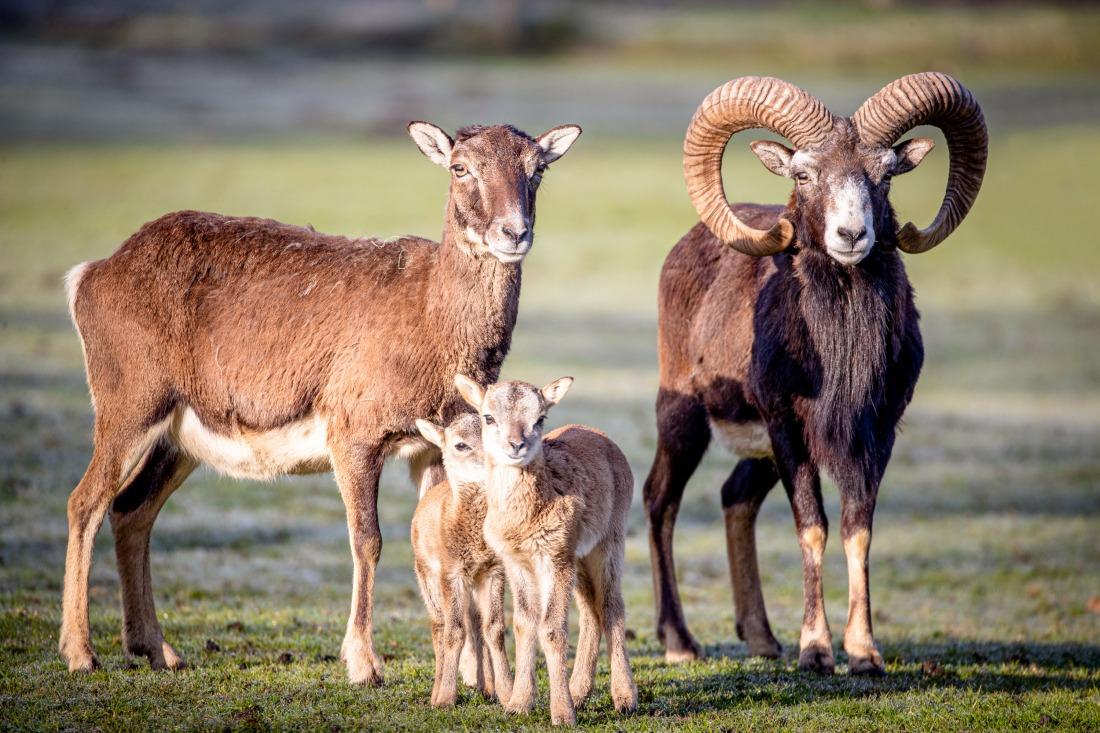 Familie Mufflon beim Fototermin