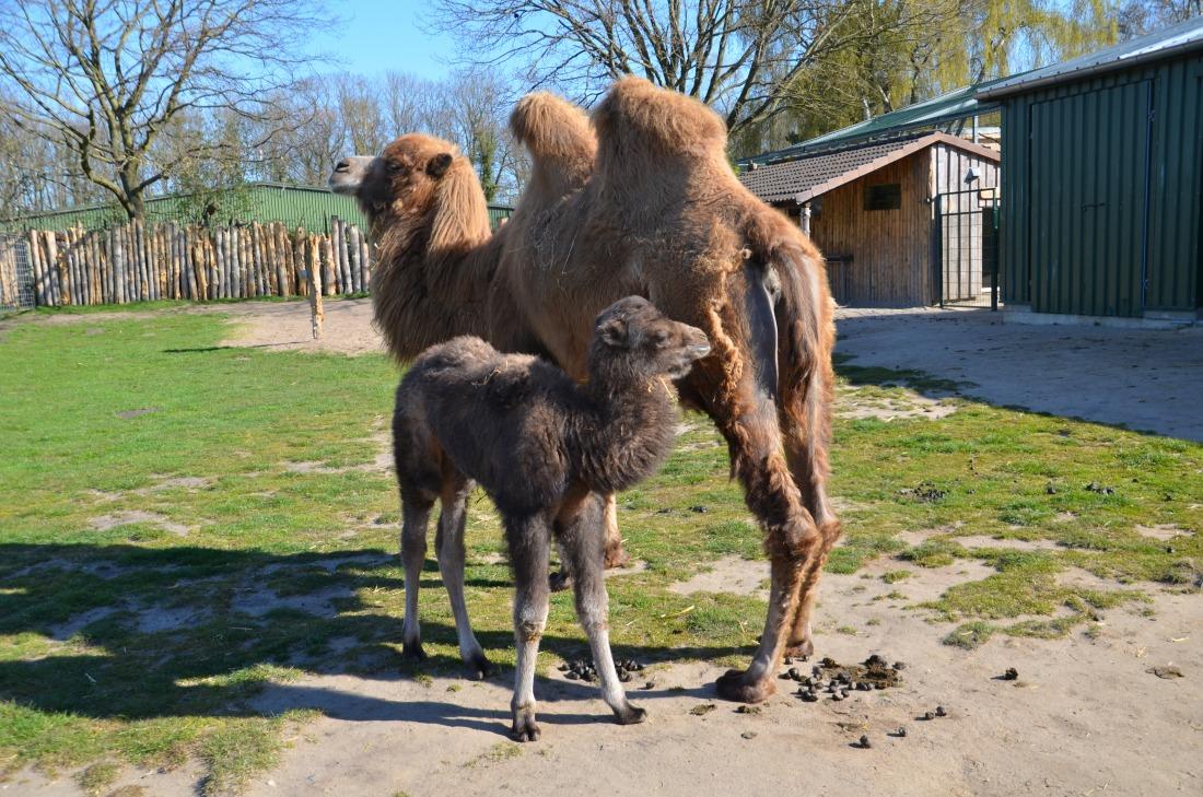 Kamelbaby Chen Lu mit ihrer Mutter im Tierpark Gettorf